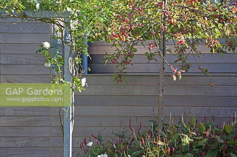 New wooden shed with white climbing rose, Malus floribunda and Persicaria in the front.