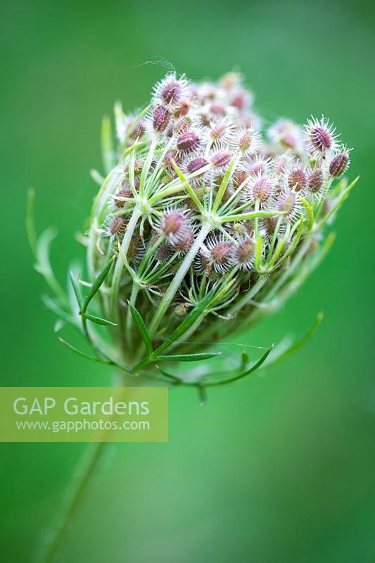 Daucus carota 'Queen Anne's Lace'- Wild Carrot - in bud
