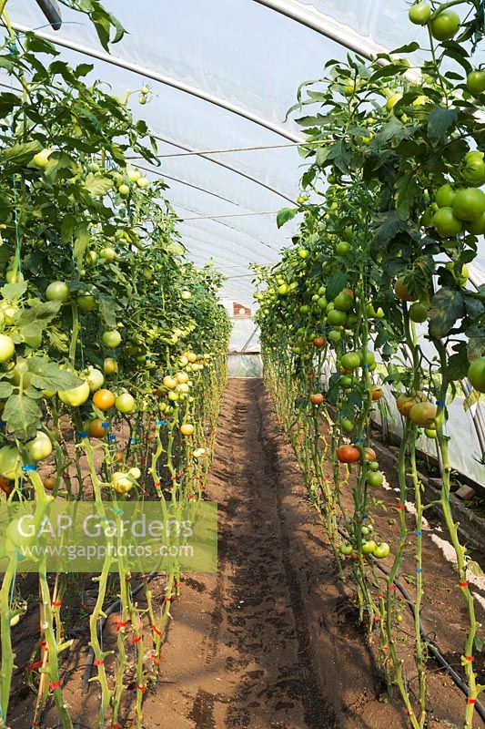 Rows of unripe Lycopersicon esculentum - organic Tomatoes in greenhouse, Quebec, Canada