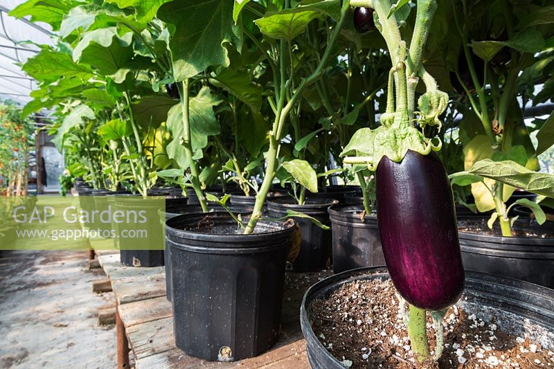 Rows of Solanum melongena - organic Eggplants in black plastic containers, Quebec, Canada