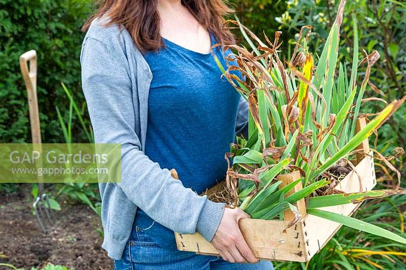 Woman carrying crate of lifted lifted Iris germanica 'Blue Rhythm' - Bearded Iris.
