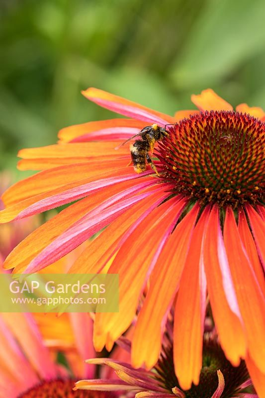 Echinacea 'Summer Cloud' with bee.