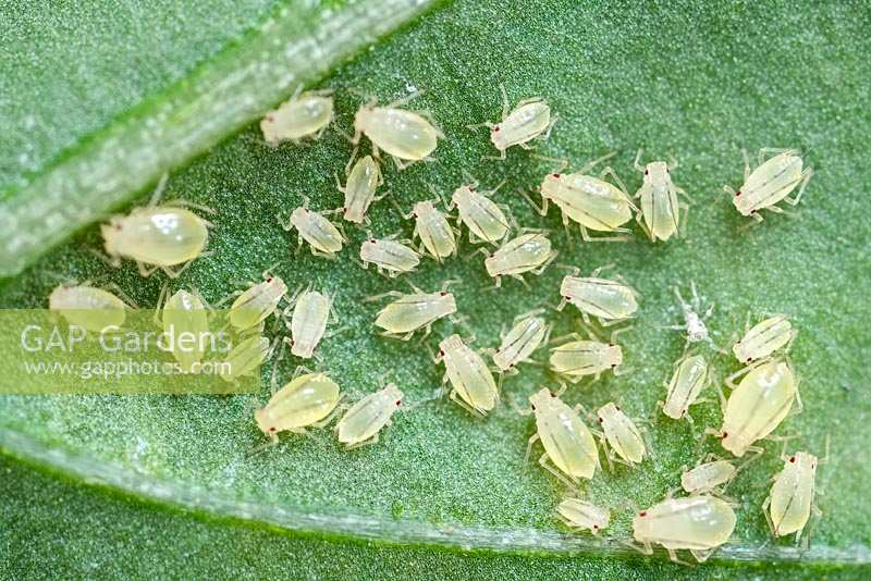 Green Aphid nymphs on leaf