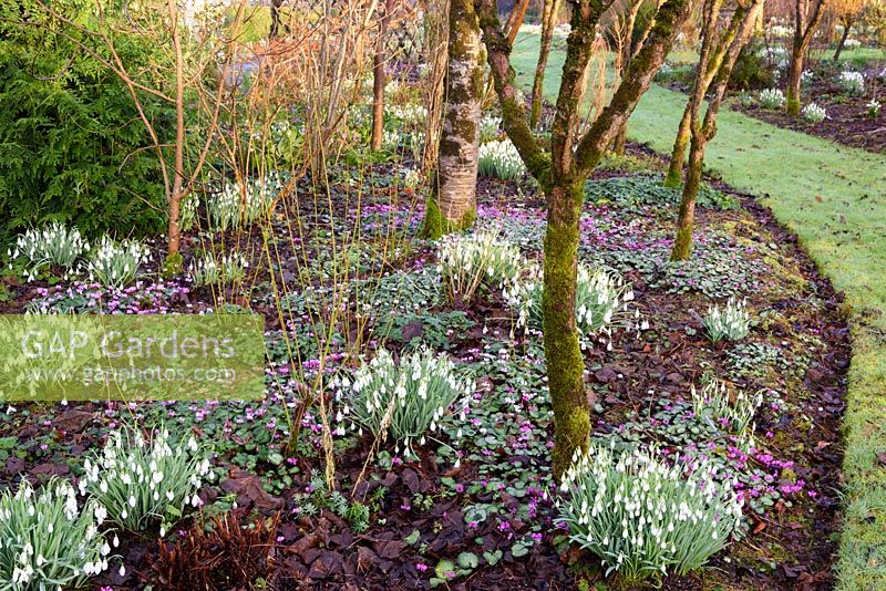 An avenue of Salix alba var. vitellina 'Britzensis' underplanted with snowdrops and Cyclamen coum interspersed with cornus at Higher Cherubeer, Devon