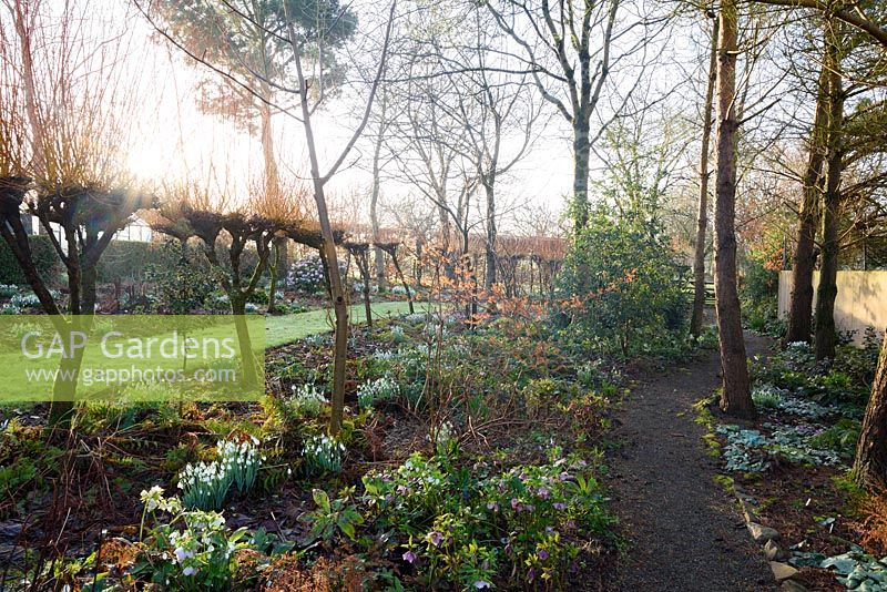 Path through trees and beds full of snowdrops, hellebores and cyclamen at Higher Cherubeer, Devon