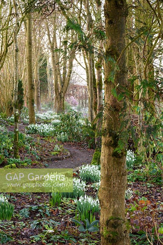 A winding path through woodland on the garden's edge lights up with clumps of snowdrops at Higher Cherubeer, Devon