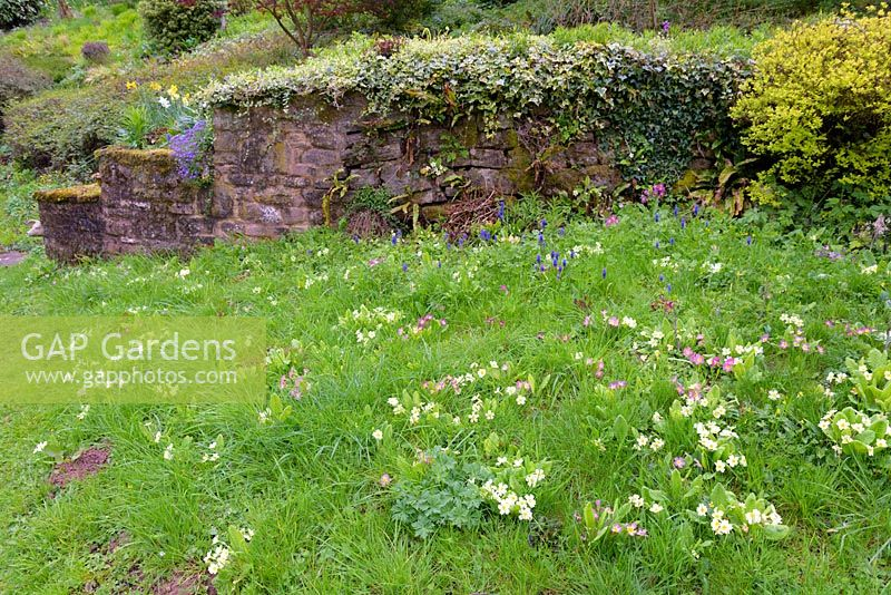 Primroses and grape hycacinths in grass with sandstone wall, Ross-on-Wye