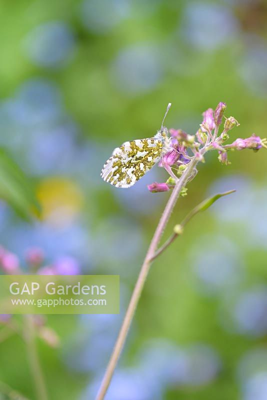 Anthocharis cardamines - Orange tip butterfly on honesty flowers