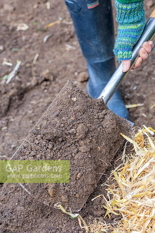 Woman covering straw nest containing harvested potatoes with garden soil.