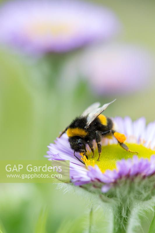 Bombus Lucorum - Bumble bee on a seaside fleabane flower in an English garden.