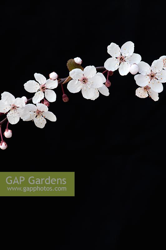 Prunus maackii - Cherry tree blossom against black background.