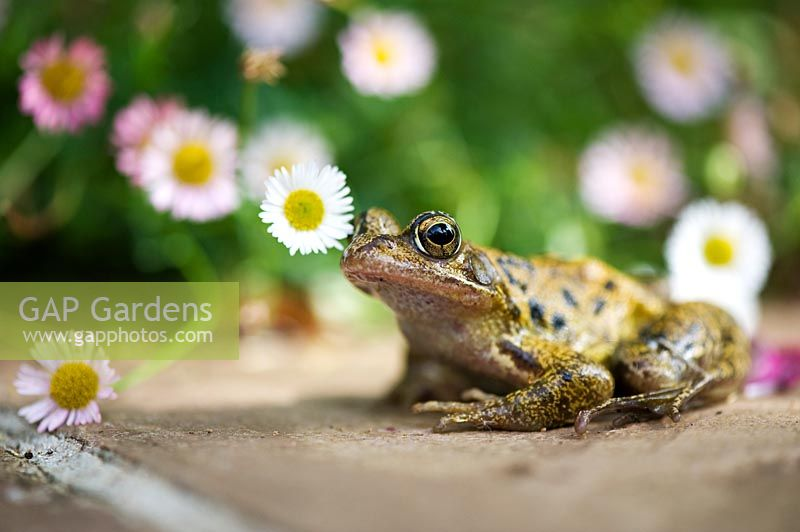Rana temporaria - Common frog amongs daisies