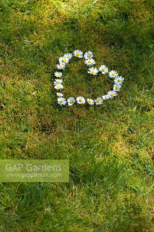 Bellis perennis - Heart shape daisies on grass