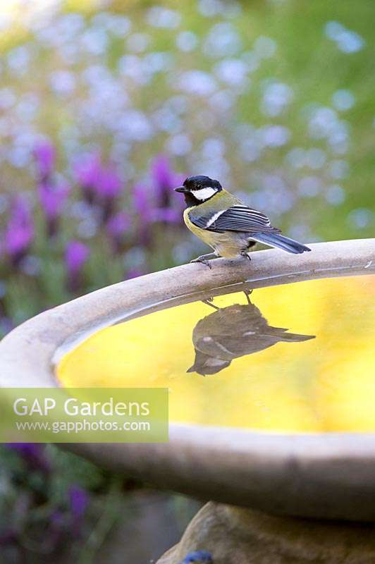 Parus major - Great tit sitting on bird bath with reflection