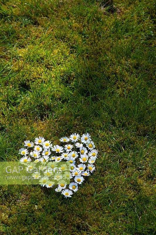 Bellis perennis - Heart shape daisychain on grass