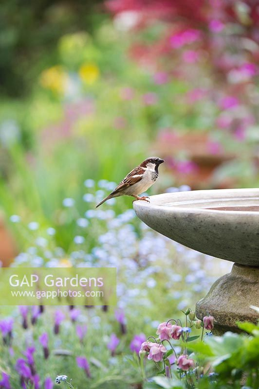 Passer domesticus - Male House sparrow on birdbath