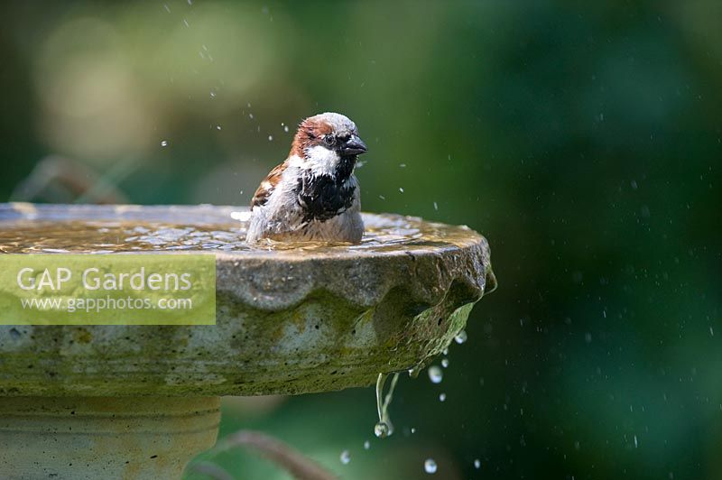 Passer domesticus - Male House Sparrow washing in a birdbath