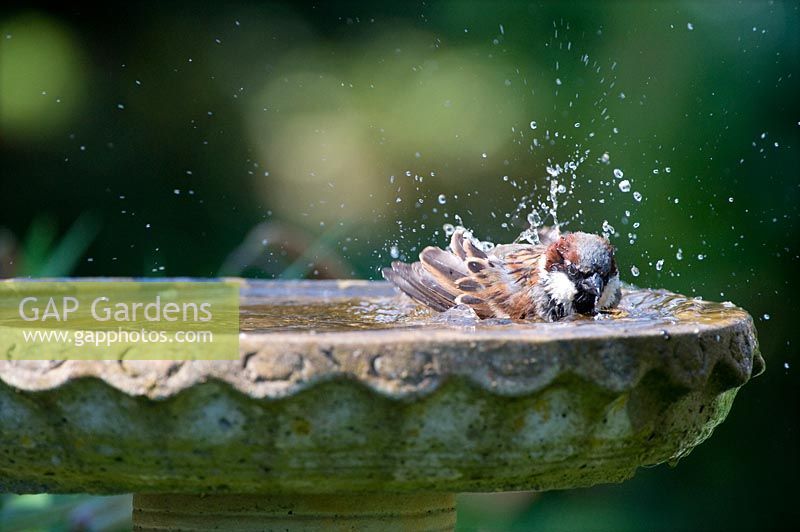 Passer domesticus - Male House Sparrow washing in a birdbath.