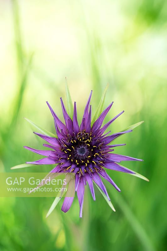 Tragopogon porrifolius - Purple Salsify