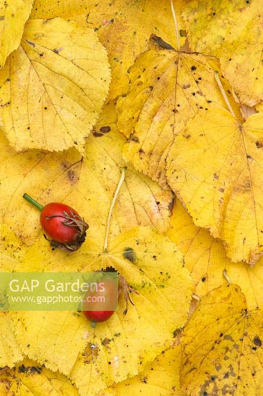Rosa rubiginosa - Rose hips on autumn leaves.