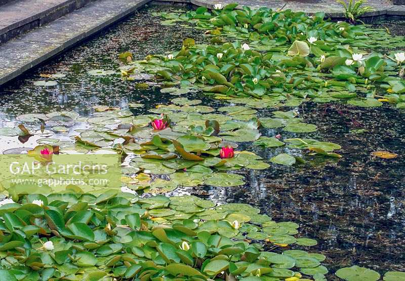 Nymphaea - Water Lillies and pads on formal pond.