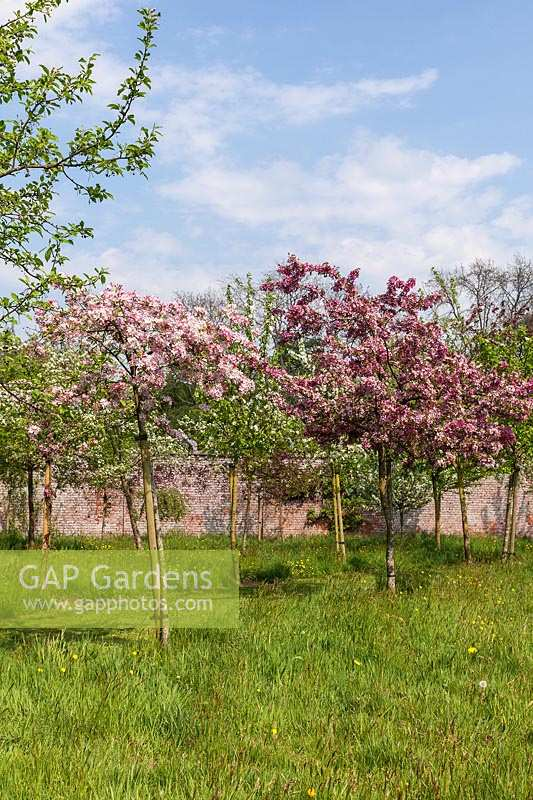 Malus x scheideckeri 'Hillieri' and Malus 'Indian Magic'. Crabapple trees in blossom.