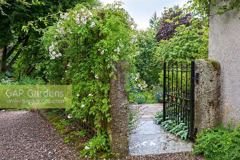 Metal gate with Rosa 'Sander's White' on trellis