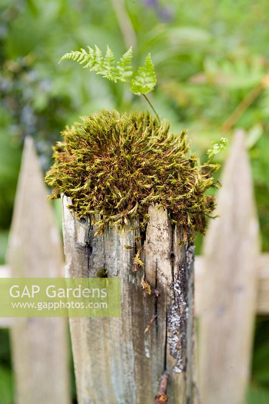 Moss and fern growing on the top of an old fence post.