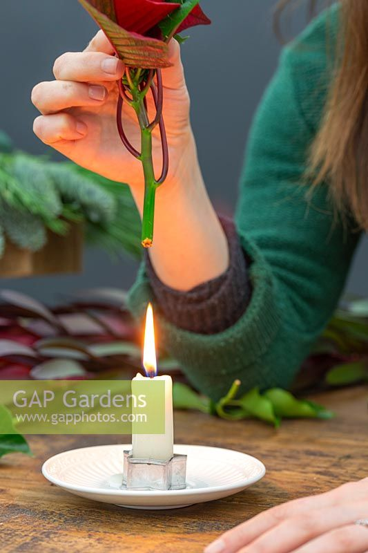Woman sealing cut pointsettia stem over candle flame.