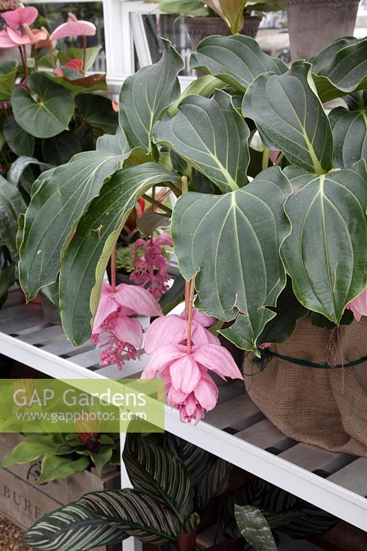 Medinilla Magnifica - Rose Grape - on greenhouse potting bench.