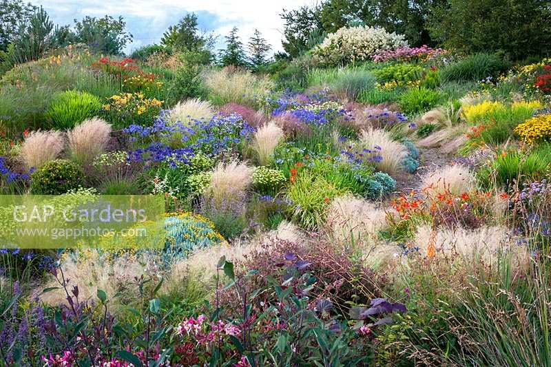 Colourful display of flowering perennials such as Agapanthus in amongst ornamental grass Stipa tenuissima