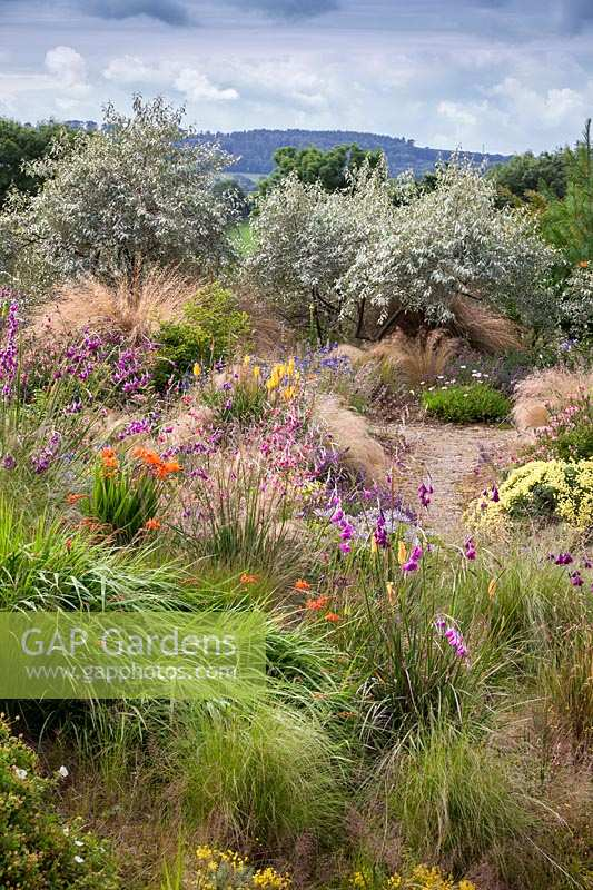 View over mixed planting of ornamental grasses and flower towards a group of Eleagnus 'Quicksilver' shrubs