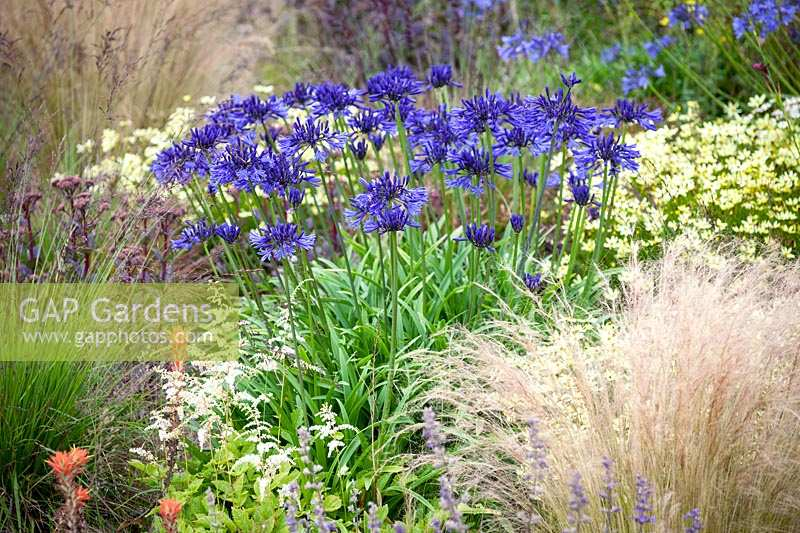 Agapanthus 'Navy Blue' amongst other perennials such as Astilbe, Sedum and Stipa tenuissima