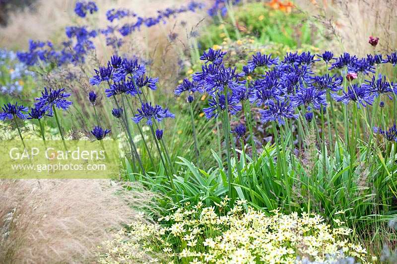 Agapanthus 'Navy Blue' in bed with Stipa tenuissima and Coreopsis 'Moonbeam'