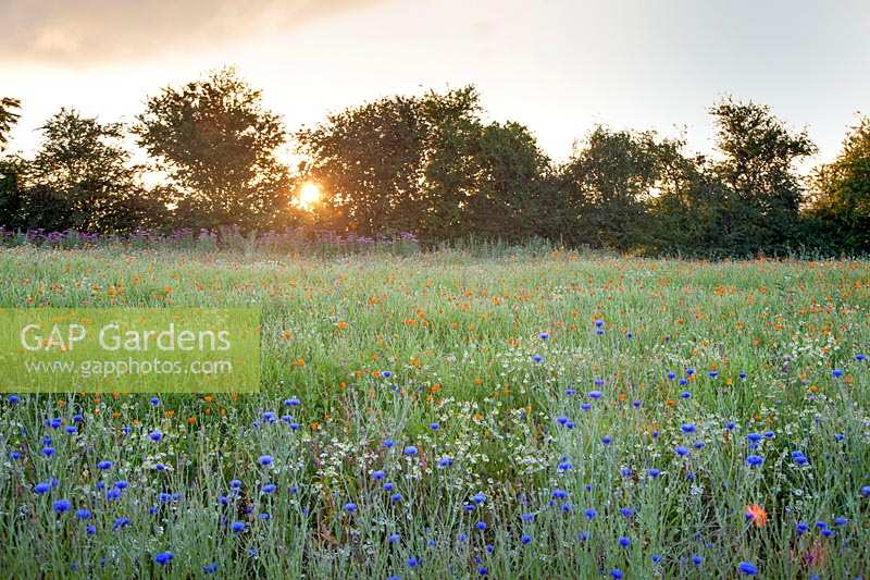 Field of mixed herbs. Cornflower Chamomile Calendula and Echinacea at dawn. Herefordshire, UK