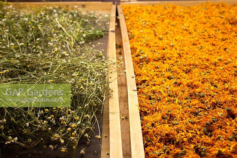 Marigolds and Chamomile being dried and prepared for products