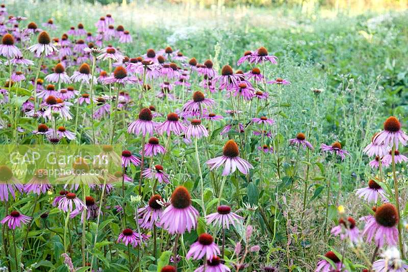 Echinacea purpurea growing in field