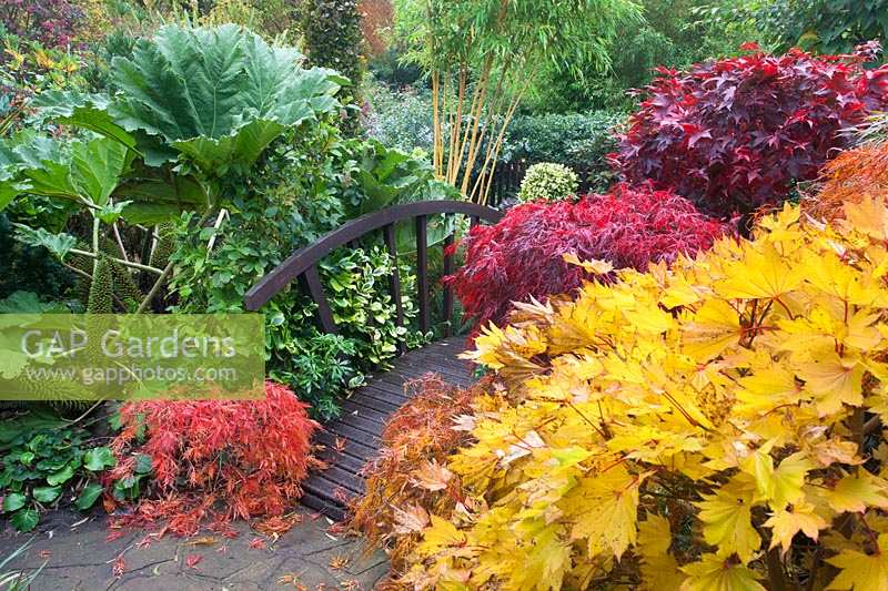 Japanese bridge bordered by multicoloured acers, and gunnera manicata, Four Seasons Garden, UK.