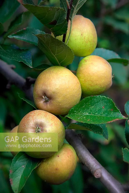 Malus domestica 'Rosemary Russet'