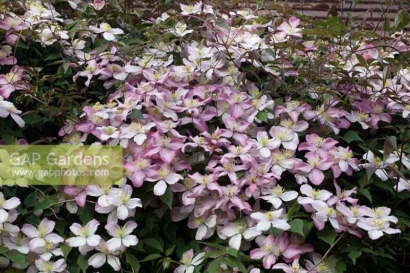 Clematis montana grandiflora intertwined with Clematis Broughton Star, and Clematis montana rubens on trellis