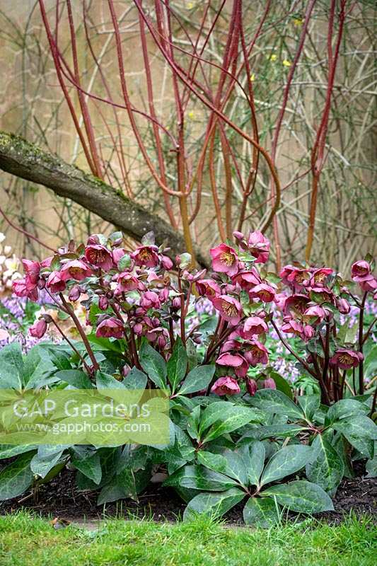 Helleborus Rodney Davey Marbled Group 'Penny's Pink' under Cornus stems in John Massey's garden at Ashwood Nurseries