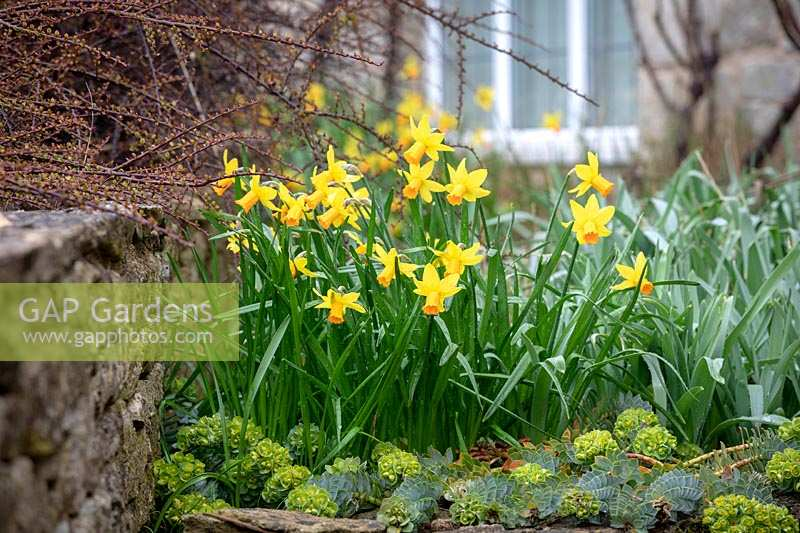 Narcissus 'Jetfire' AGM growing through Euphorbia myrsinites AGM - Broad-leaved glaucous spurge