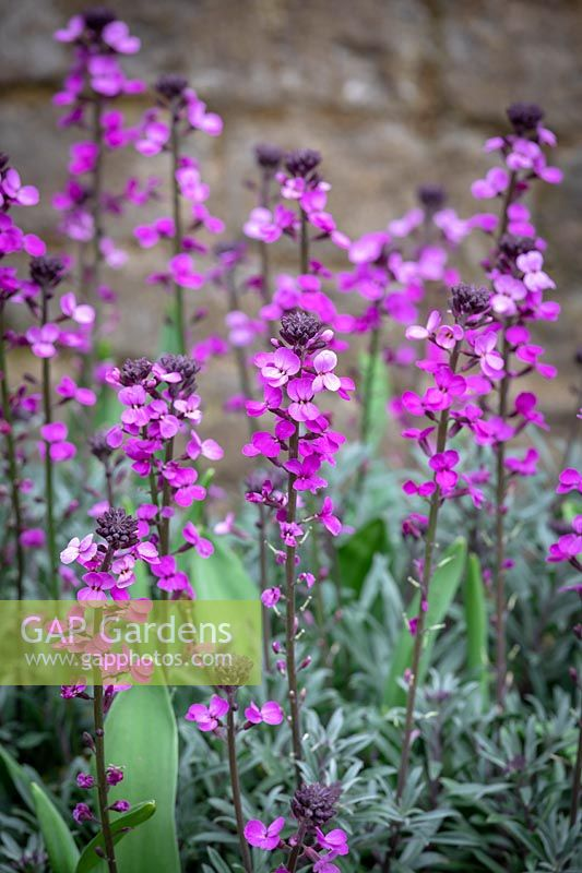 Erysimum 'Bowles's Mauve' AGM syn. Erysimum linifolium glaucum, E. linifolium 'Bowles' Mauve' - Wallflower - underplanted with tulips.