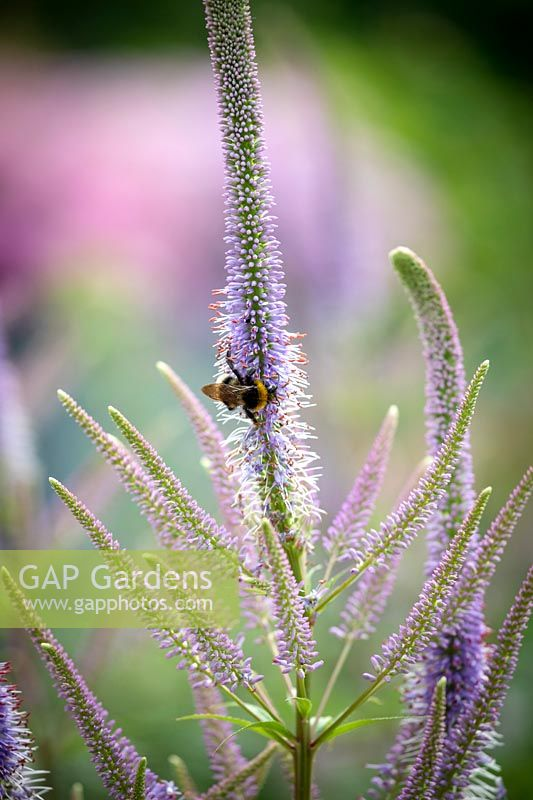 Bee on Veronicastrum virginicum 'Fascination' - Culver's root