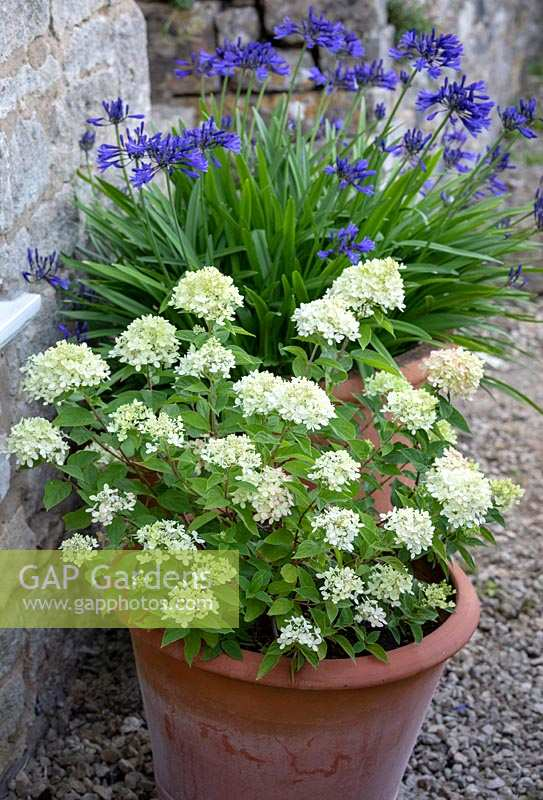 Hydrangea paniculata 'Little Lime' syn. 'Jane' in a terracotta pot with Agapanthus 'Navy Blue' syn A. 'Midnight Star' - African lily - beyond.