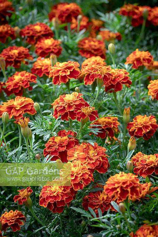 Tagetes patula 'Red Cherry' - French marigold