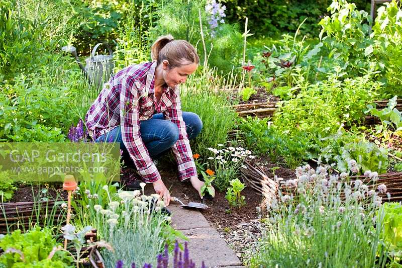 Woman planting Zinna 'Profusion' and marguerite daisy in vegetable garden to attract wildlife.