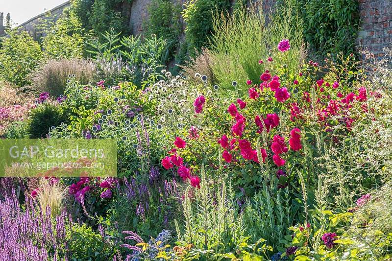 Colourful border with Rosa 'Tam O' Shanter', Echinops, Salvias, Verbascum and Crambe.