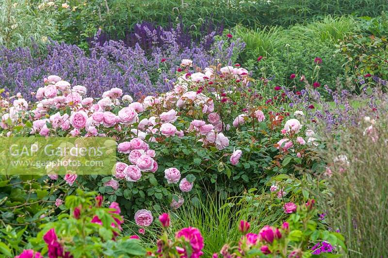 Mixed border with Rosa 'Olivia Rose Austin' and Nepeta.