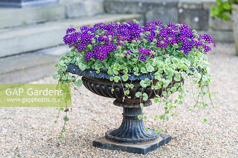 Cast iron urn with flowering Verbena and Glechoma hederacea 'Variegata'